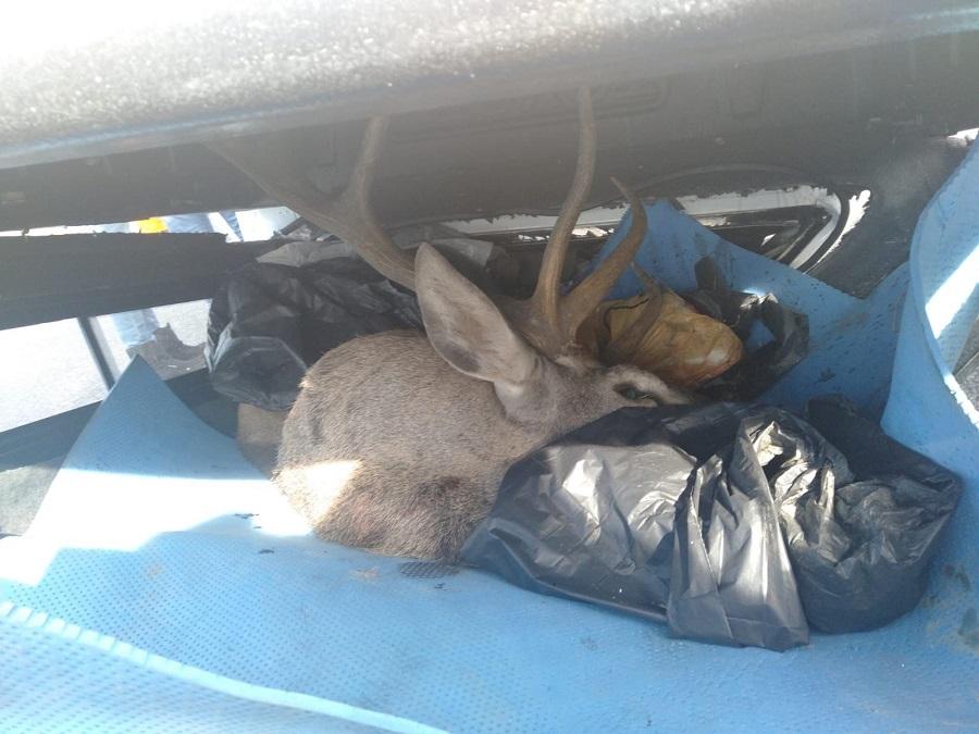 Avcıların kamyoneti takla attı, bagajda avlanması yasak geyik bulundu…